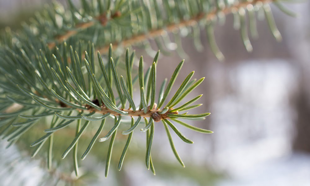 Balsam Fir Simple Syrup | SPUD.ca