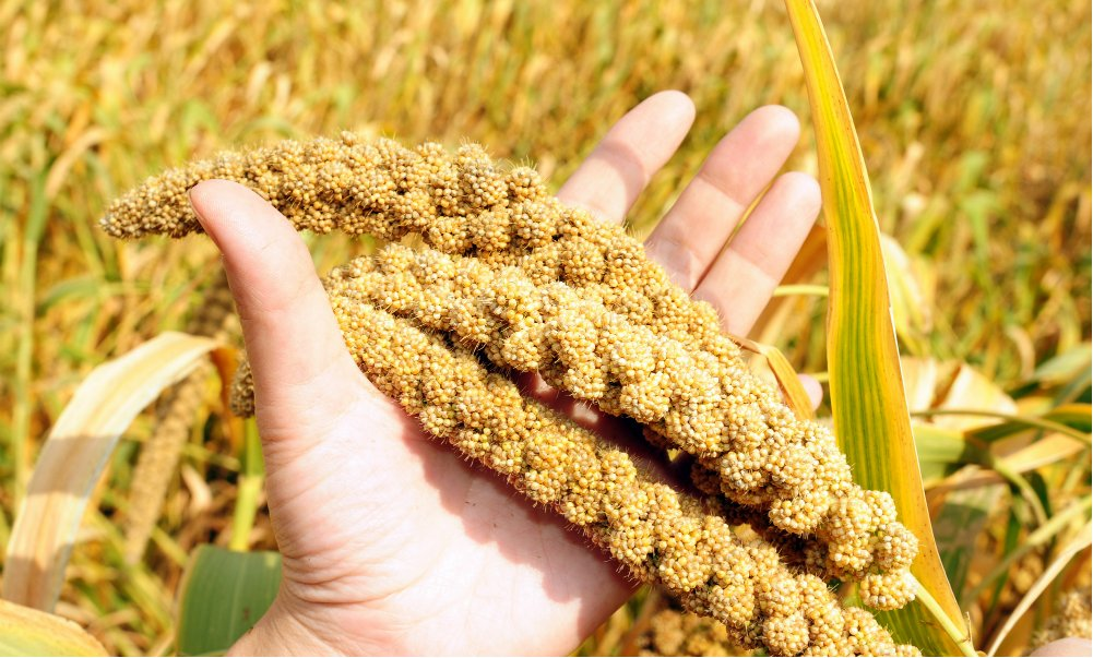 IS MILLET THE NEXT QUINOA? WHICH IS MORE NUTRITIOUS?