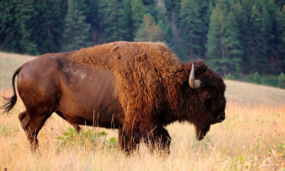 SO WHAT'S THE DEAL WITH BISON?