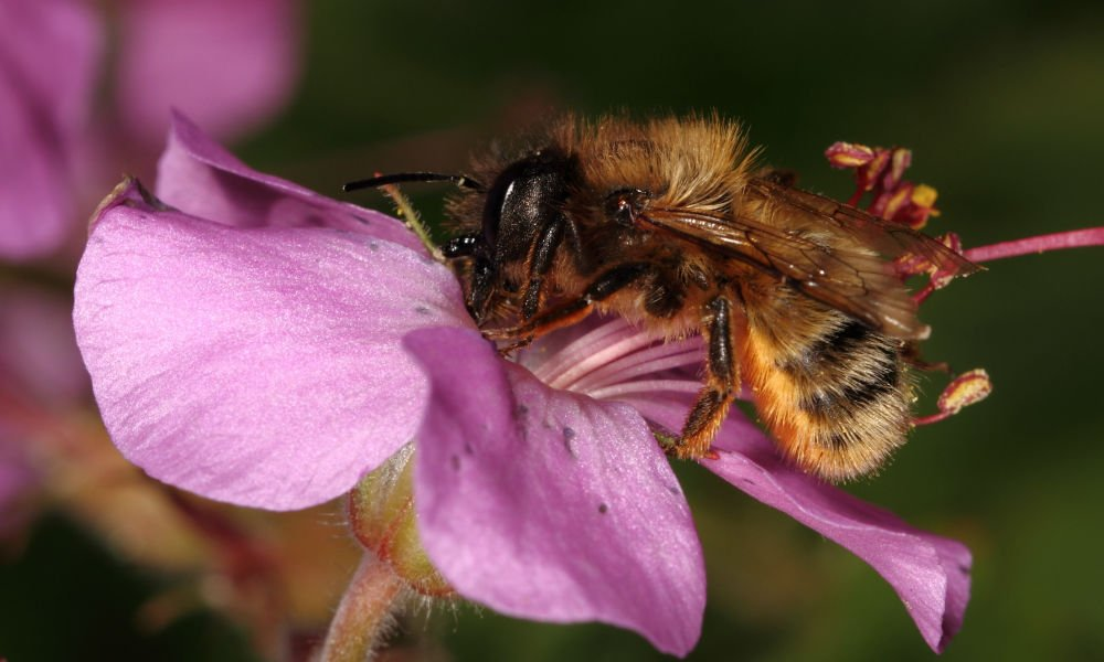 THE BEE WITH THE POLLINATING POWER OF 60 HONEY BEES
