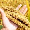 millet vs quinoa