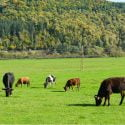 organic meat cows grazing