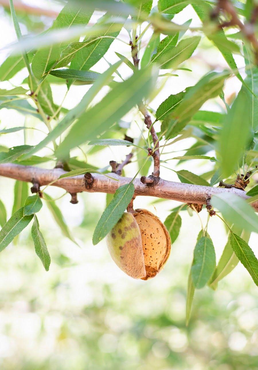 almond tree transitional farming