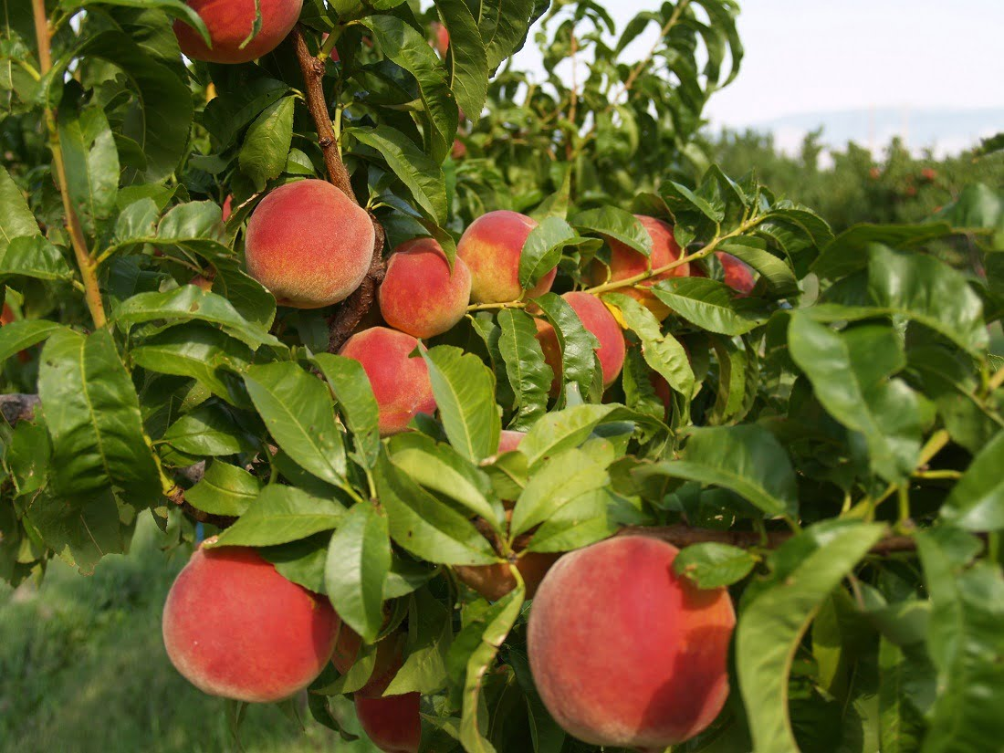 Blush Lane Orchard