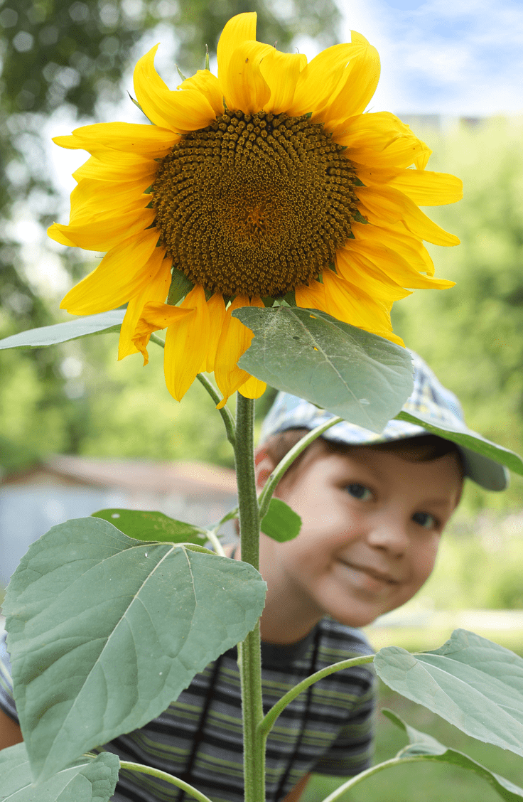 sunflower with kid