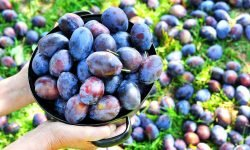 Things To Do With Plums
