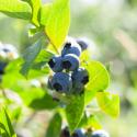 formosa blueberries